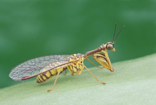 mantidfly mantisfly mantispidae IMG_7640 copy