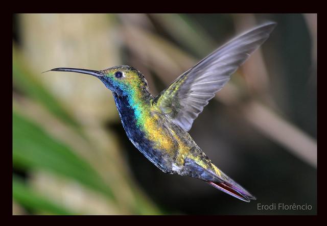 Beija - flor    -     Hummingbird