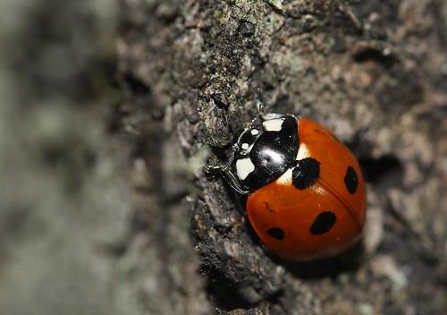 [フリー画像素材] 動物 2, 昆虫, てんとう虫・テントウムシ ID:201203230400
