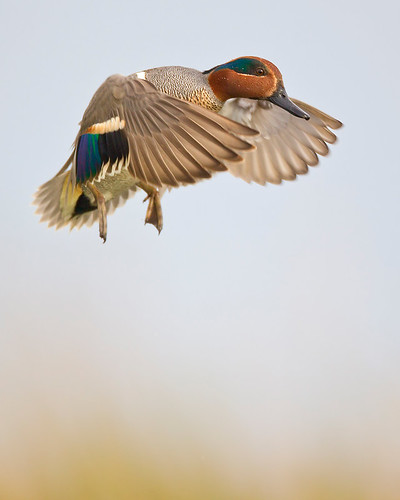 Incoming Teal by Jeff Dyck