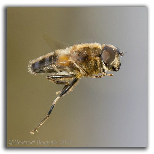 Hoverfly hovering in flight  (Eristalis pertinax)